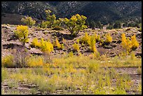 Riparian vegetation in autum foliage, Medano Creek. Great Sand Dunes National Park, Colorado, USA. (color)