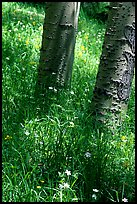 Aspen trunks in summer near Medano Pass. Great Sand Dunes National Park and Preserve, Colorado, USA.