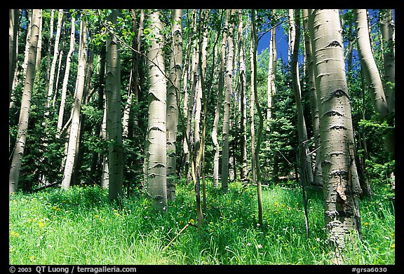 Aspen trees in summer near Medora Pass. Great Sand Dunes National Park, Colorado, USA.