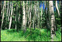 Aspen trees in summer near Medano Pass. Great Sand Dunes National Park and Preserve, Colorado, USA.