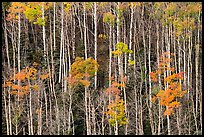 Hillside with trunks of aspen in autum. Great Sand Dunes National Park and Preserve ( color)