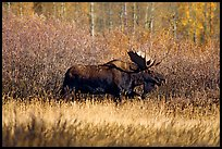 Bull moose in autumn. Grand Teton National Park, Wyoming, USA. (color)