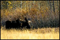 Bull moose out of forest in autumn. Grand Teton National Park, Wyoming, USA. (color)