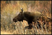 Cow moose running. Grand Teton National Park, Wyoming, USA. (color)