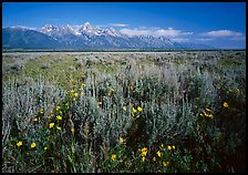 Flats with Arrowleaf balsam root and Teton range, morning. Grand Teton National Park ( color)