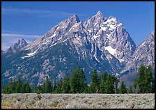 Cathedral group raising behind row of trees, morning. Grand Teton National Park ( color)