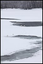 Trumpeter swans in partly thawed river. Grand Teton National Park ( color)