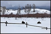 Fence and moose in winter. Grand Teton National Park, Wyoming, USA. (color)