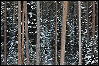 Pine tree trunks and snowy forest. Grand Teton National Park ( color)