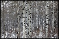 Aspen forest in winter. Grand Teton National Park ( color)
