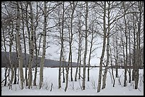 Aspen grove, Willow Flats, winter. Grand Teton National Park ( color)
