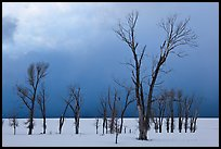 Bare Cottonwoods and dark sky in winter. Grand Teton National Park, Wyoming, USA. (color)