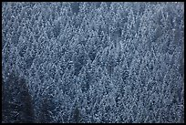 Hillside with frozen conifers. Grand Teton National Park, Wyoming, USA.