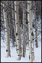 Aspen trunks in winter. Grand Teton National Park ( color)