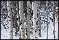 Trunks of aspen trees in winter. Grand Teton National Park ( color)