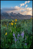 Lupine, Arrowleaf Balsam Root, and Tetons from Antelope Flats. Grand Teton National Park ( color)