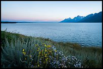 Wildflowers and Teton range from Jackson Lake, dusk. Grand Teton National Park ( color)