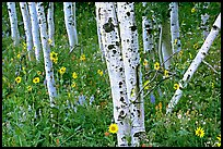 Sunflowers, lupines and aspens. Grand Teton National Park ( color)