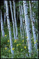 Sunflowers, lupines and aspen forest. Grand Teton National Park, Wyoming, USA.