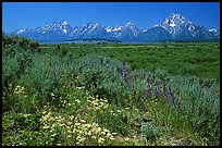 Wildflowers and Teton range, morning. Grand Teton National Park ( color)