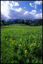 Yelloe summer flowers in Horseshoe park. Rocky Mountain National Park, Colorado, USA. (color)