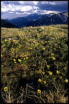 Alpine flowers on the tundra along Trail Ridge road. Rocky Mountain National Park ( color)