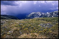 Alpine wildflowers and summer storm along Trail Ridge road. Rocky Mountain National Park, Colorado, USA. (color)