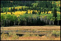 Yellow aspens and conifers Horseshoe park. Rocky Mountain National Park, Colorado, USA.
