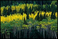 Aspens mixed with  conifers. Rocky Mountain National Park ( color)