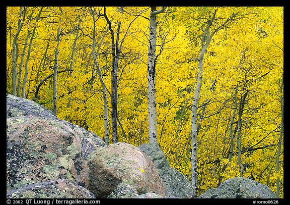 Aspens in autumn foliage and boulders. Rocky Mountain National Park, Colorado, USA.