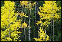 Yellow aspens in forest. Rocky Mountain National Park, Colorado, USA.
