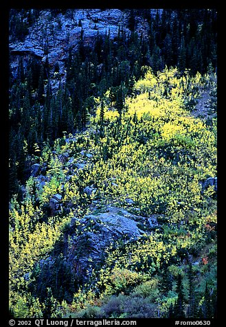 Distant view of bright aspens on mountainside. Rocky Mountain National Park, Colorado, USA.