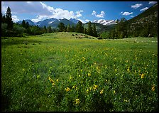 Wildflower carpet in meadow and mountain range. Rocky Mountain National Park ( color)