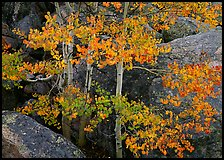 Colorful Aspen and boulders. Rocky Mountain National Park ( color)