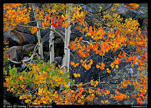 Colorful Aspen and boulders. Rocky Mountain National Park, Colorado, USA.