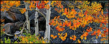 Three orange aspen trees. Rocky Mountain National Park (Panoramic color)
