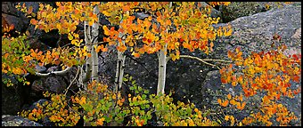 Aspen trees with fall leaves. Rocky Mountain National Park (Panoramic color)