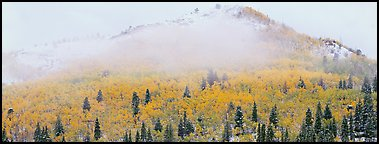 Forest with fall colors and early snow beneath fog-shrouded peak. Rocky Mountain National Park (Panoramic color)