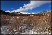 Willows near beaver pond in winter. Rocky Mountain National Park ( color)