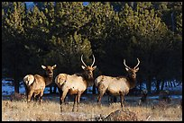 Group of Elk. Rocky Mountain National Park ( color)