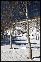 Aspen trees in winter. Rocky Mountain National Park, Colorado, USA.