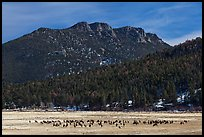 Elk Herd and  Gianttrack Mountain, late winter. Rocky Mountain National Park, Colorado, USA. (color)