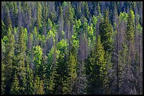 Evergreens and aspen in Kawuneeche Valley. Rocky Mountain National Park ( color)