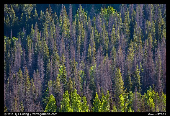 Slope with dark evergreen trees and light aspen trees. Rocky Mountain National Park, Colorado, USA.