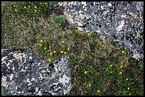 Alpine flowers and lichen-covered rocks. Rocky Mountain National Park ( color)