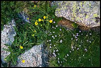 Alpine flowers and lichen-covered granite rocks. Rocky Mountain National Park ( color)