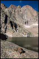 Marmot on shore of Chasm Lake below Longs peak. Rocky Mountain National Park, Colorado, USA. (color)