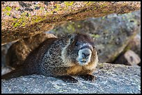 Marmot. Rocky Mountain National Park, Colorado, USA. (color)