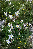 Close-up of Columbine. Rocky Mountain National Park ( color)
