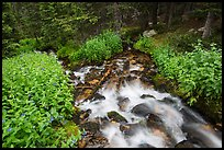 Stream cascading in forest. Rocky Mountain National Park ( color)